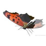 Metal Earth: Butterfly Eastern Comma