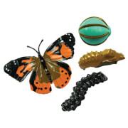 Schmetterling Lebenszyklus