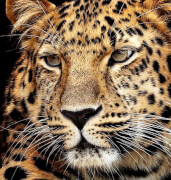 Diamond Painting Jaguar Kopf 40x30 cm
