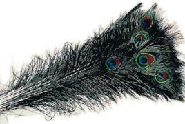 Pfauenfedern 75-90cm
